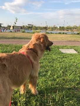 Se busca macho  Golden retriever para monta
