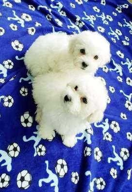 French poodle mini toys