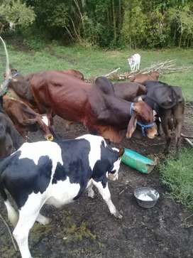 Venta de ganado timbio cauca