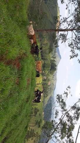 Hermoso ganado tipo leche