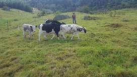 Vendo Terneras Holstein