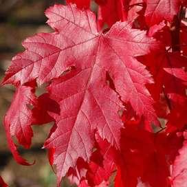semillas de arce rojo planta en peru