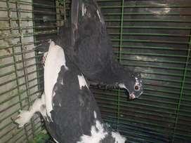Vendo hermosas palomas satinettes