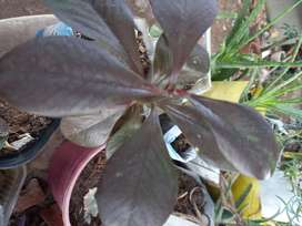 Gp1160 Planta de euphorbia  umbellata gomero africano