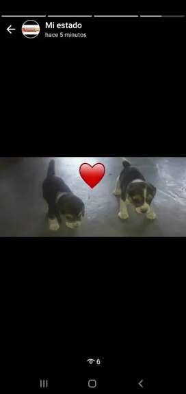 Beagle cachorritos machos y hembra