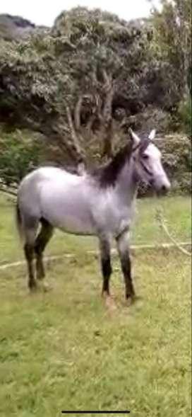 vaca raza holstein lechera y caballo de carga y monta hermoso