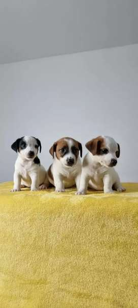 Jack Russell bomboncito