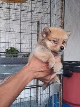 Disponibles cachorritos raza Pomeranias lulu cremita  y blancos