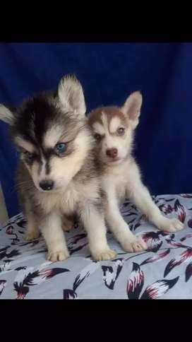 Divinos cachorros huskys siberianos a la venta