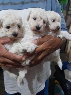 Poodle toy cachorritos