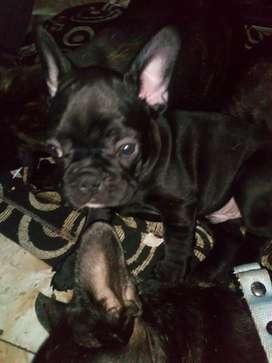 Bulldog frances 2 meses venta o permuta