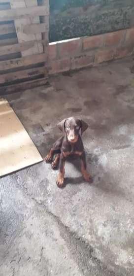 Se venden cachorros Doberman Chocolate
