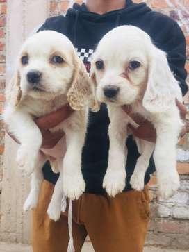 se venden perritos coker originales de 2 meses y medio de adad