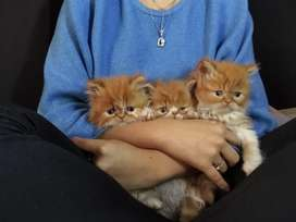 Gatos persas hijos de gato Himalaya