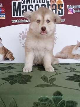 Cariñosa hembras Husky siberiana de 45 días de edad manto rojo