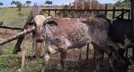 13. Novillas tipo leche preñadas de Gyr