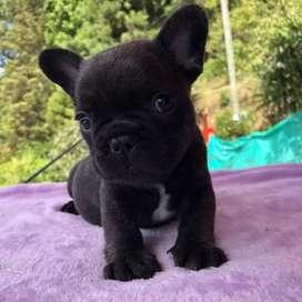Bulldog Frances Bull Dog