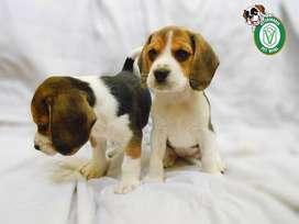 Cachorros Beagle,golden,bulldog,mastin,chihuahua,yorkshire,doberman,samoyedo,westy,labrador,schnnauzer ,pug en Pet Vital