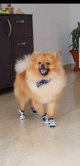 Hermoso macho Pomerania para montar