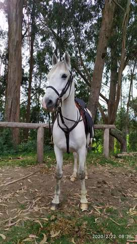 Hermoso caballo español x cuarto de milla