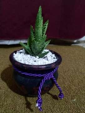 Cactus crasas y suculentas en macetas de barro pintadas