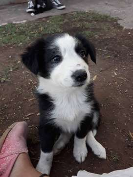 Cachorro border collie BAHIA BLANCA y zona