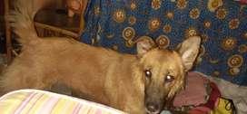 Regalo perra de raza cruce de pastor alemán