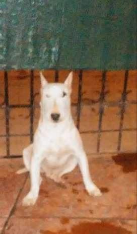 Bull terrier hermosa genetica puro
