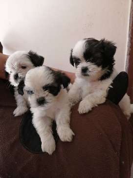 Disponible cachorros