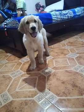 Venta de cachorro