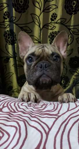Bulldog francés  macho para monta