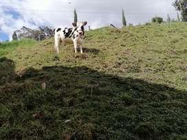 Vacas de buena calidad