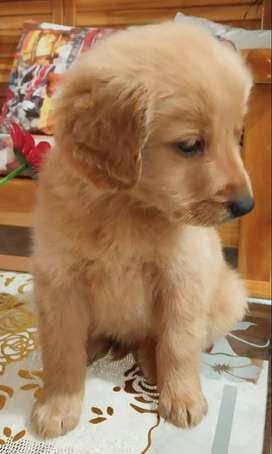 RETIVERS GOLDEN DORADOS OSCURO CACHORROS Contamos con los cachorros con la mejor característica para entrega machos y he