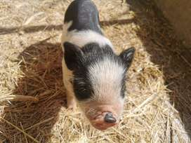 Mini pig Gottingen