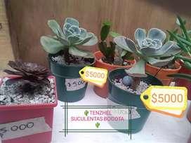 Cactus , suculentas en venta