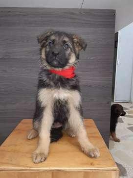 Vendo cachorros pastor alemán 2 meses