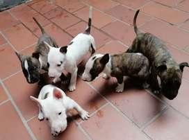 Hermosos cachorros BullTerrier 1 mes y medio