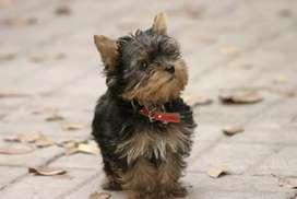 Juguetones yorkshire terrier