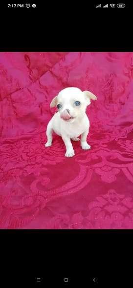 ChihuahuaTOY