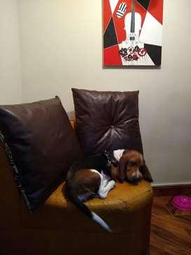Linda cachorra Basset hound de 8 meses