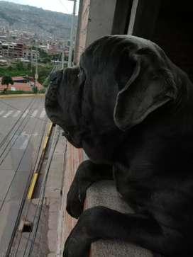 Servicio de monta de mi perro mastín napolitano