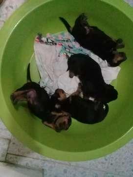 Cachorros rorwailers 20 dias