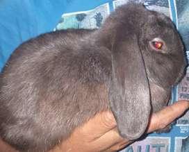 Conejos holand lop machos