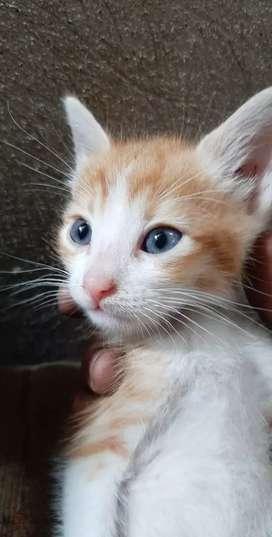 Adopción de gatito