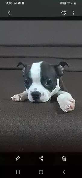 Boston terrier macho