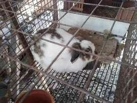 Conejos varias rasas ..lop ..lion lop ..mariposa ..calif