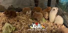Vendo Hamsters Sirios y Hamsters sirios angoras Bebés