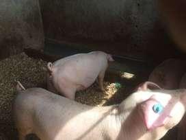 carne de cerdo y hornado