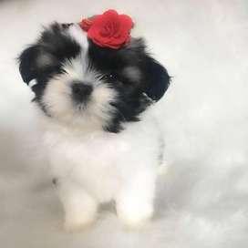 perras shitzu de 58 dias, hermosas y desparasitadas