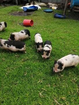 Mini pigs hembras